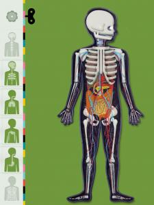 Ici on peut voir 4 systèmes superposés : squelette, digestion, respiration et circulation du sang
